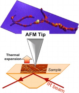 An atomic force microscope coupled with a tunable infrared laser source (AFM-IR) was used to measure the size and map the distribution of oil inclusions inside of microorganism without staining or other special sample preparation. The microorganism under study is Streptomyces, a soil bacterium that possesses the capability, under some specific nutritional conditions, to store its carbon source into TriAcylGlycerols, a potential direct source of biodiesel.